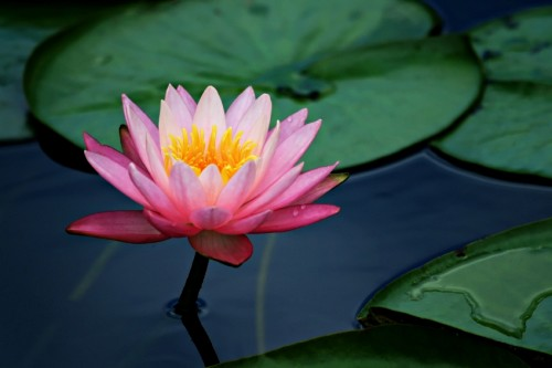 lily pad lotus flower