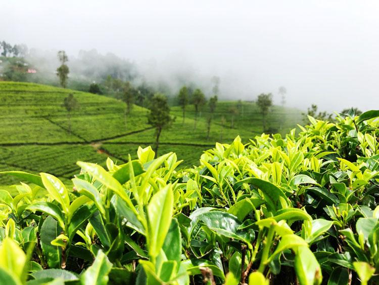 Japanese Green Tea & terroir