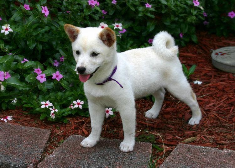 cream shiba inu puppy