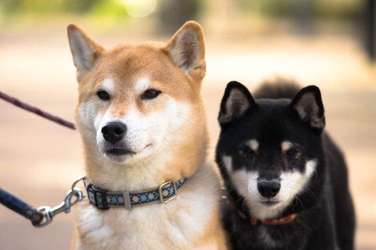 red shiba and black and tan shiba