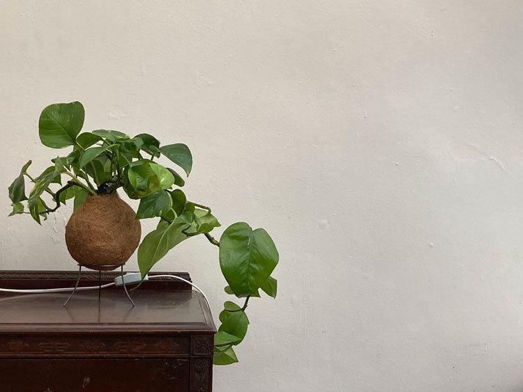 kokedama in conservatory