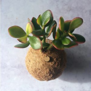jade plant kokedama