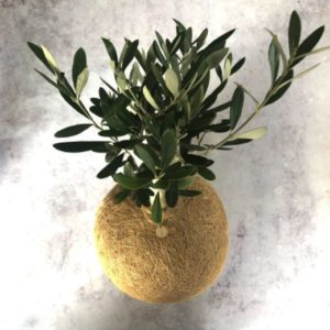 olive tree kokedama