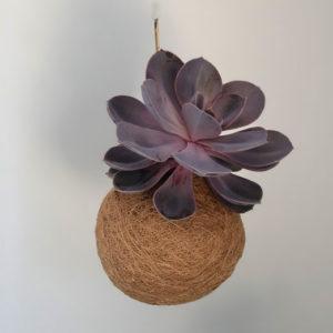 kokedama succulent plant