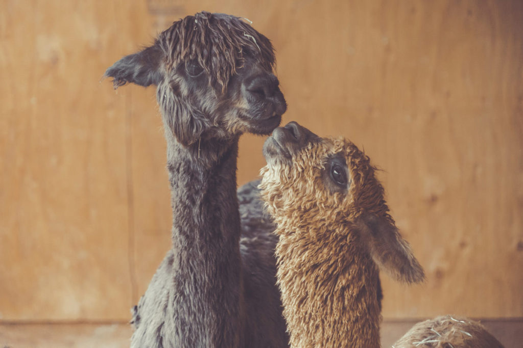alpacas-kissing
