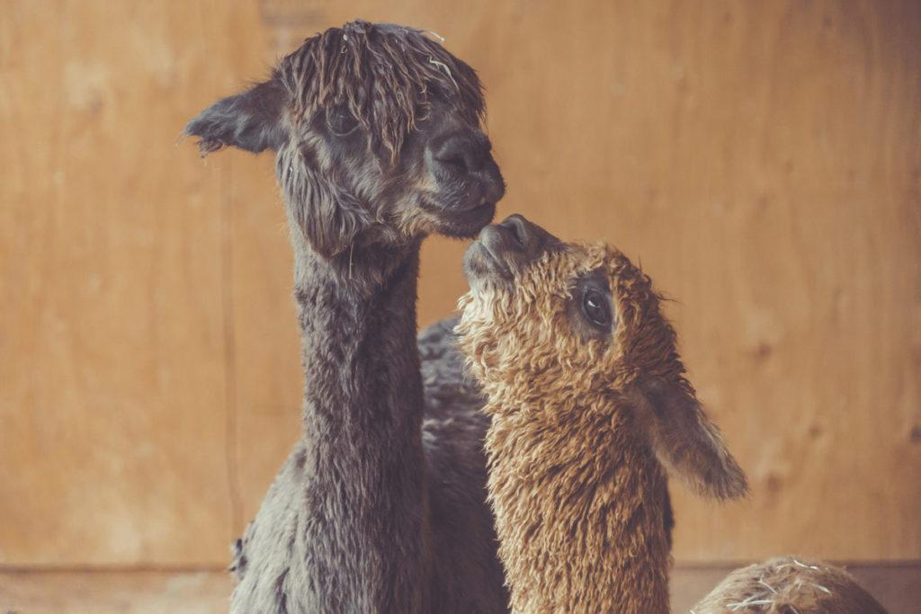 alpacas-kissing