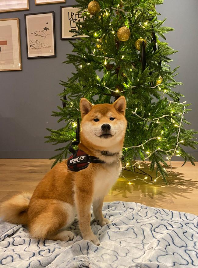 shiba inu with Christmas tree